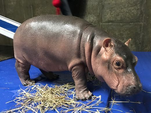 Fiona The Famous Hippo Highland Piper